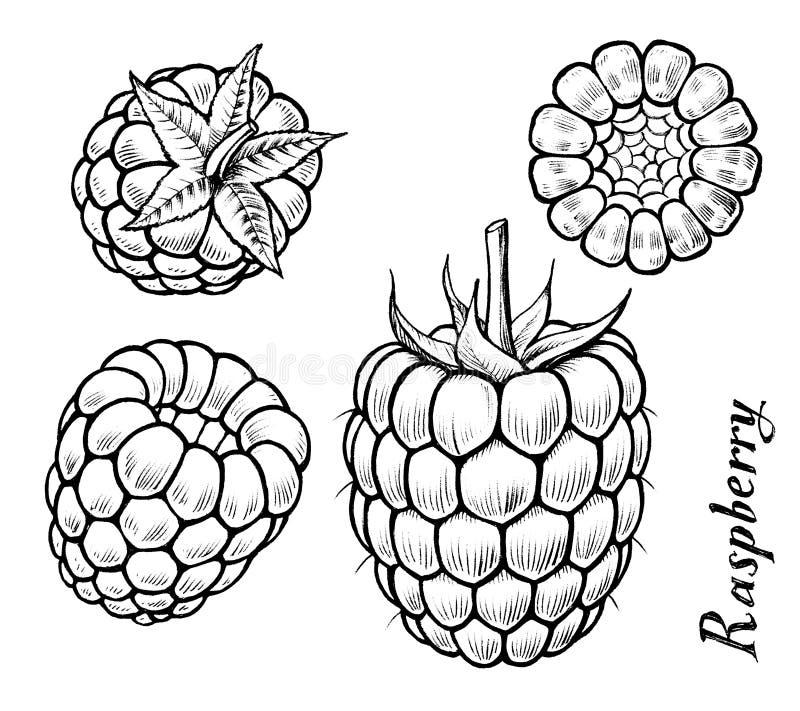 malina royalty ilustracja
