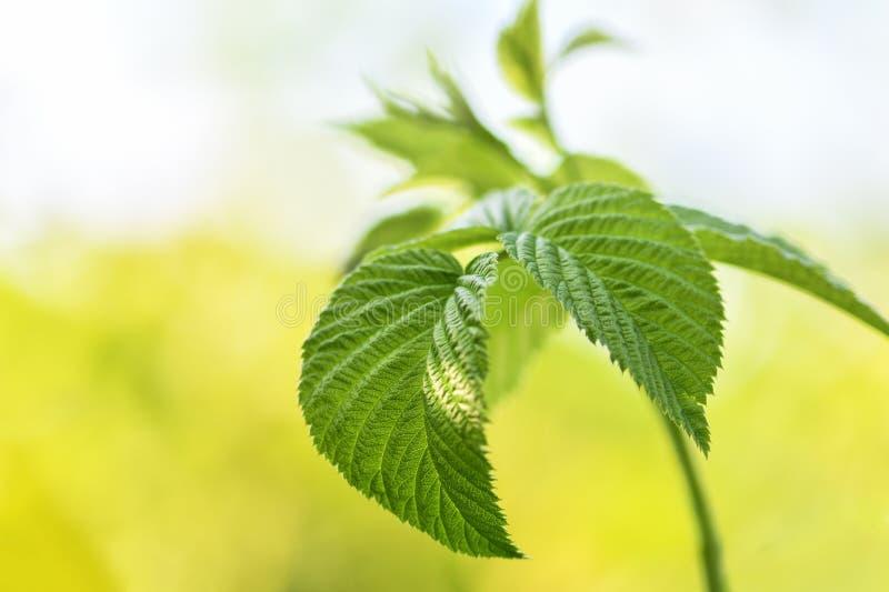Malinki gałąź z zielonymi liśćmi w w górę ogródu przed roślinami zaczyna kwitnąć obraz royalty free