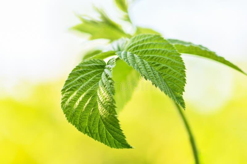 Malinki gałąź z zielonymi liśćmi w w górę ogródu przed roślinami zaczyna kwitnąć zdjęcia royalty free