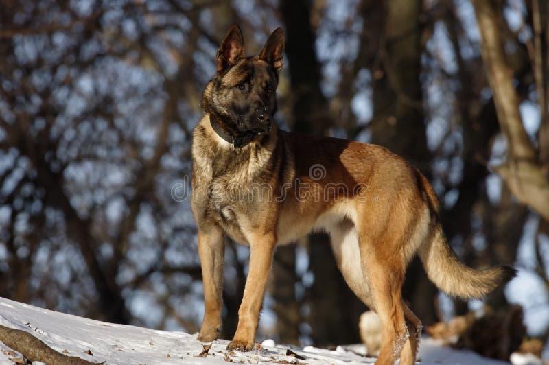 Malinois -比利时牧羊犬 免版税库存图片