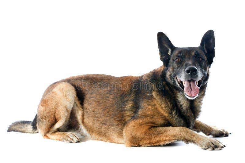 Download Malinois stock image. Image of pedigree, brown, police - 27656873
