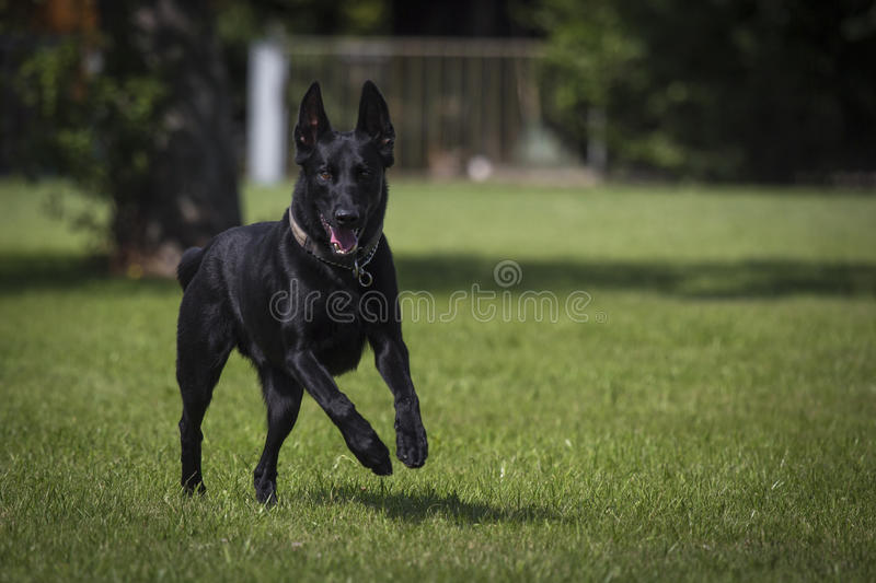 Malinois obraz stock