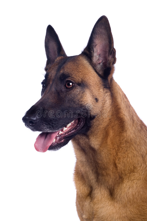 malinois obrazy royalty free