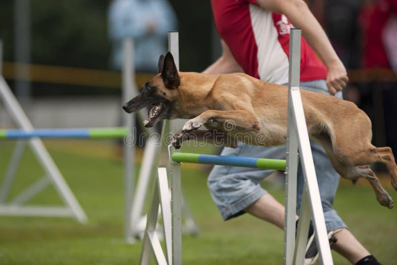 Malinois auf einzelner Hürde des Beweglichkeitswettbewerbs stockbilder