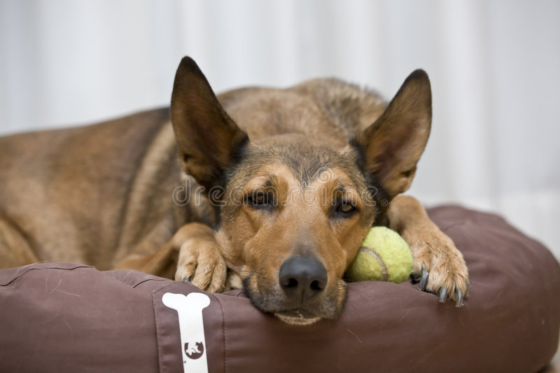 Malinois belga que dorme na esfera de tênis fotos de stock