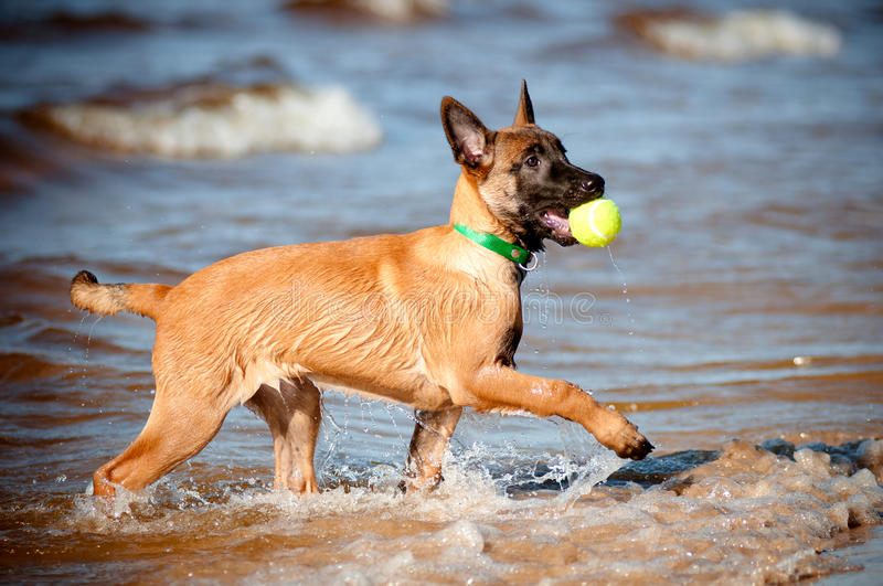 Download Malinois Belgian Sheperd Puppy With A Ball Stock Image - Image of obedient, coming: 26643905