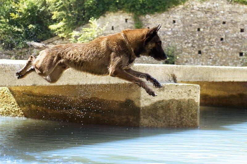 Malinois che salta nel fiume fotografia stock libera da diritti