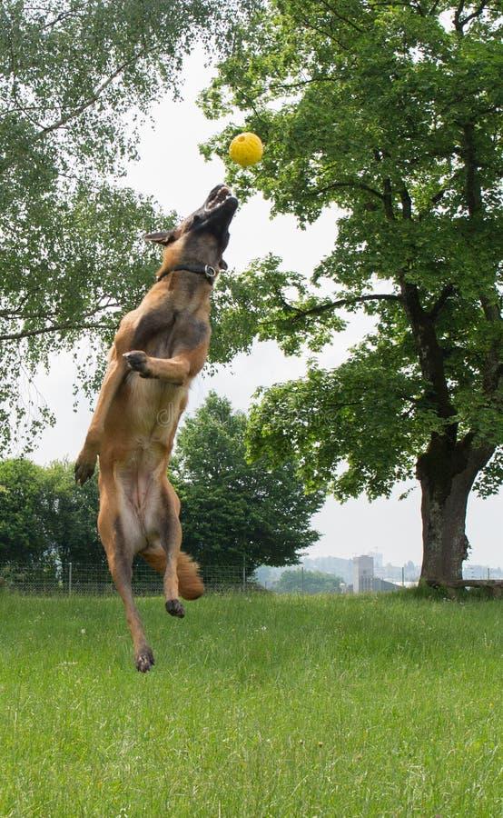 Malinois, das draußen springt und spielt lizenzfreie stockfotos