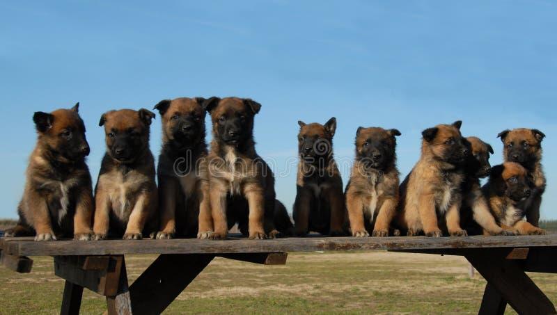 Malinois de los perritos fotografía de archivo