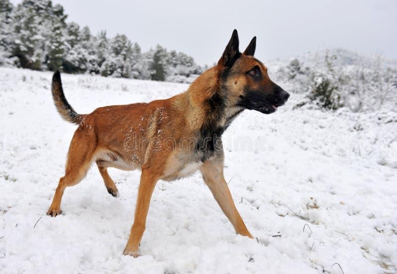 Malinois in de sneeuw royalty-vrije stock fotografie