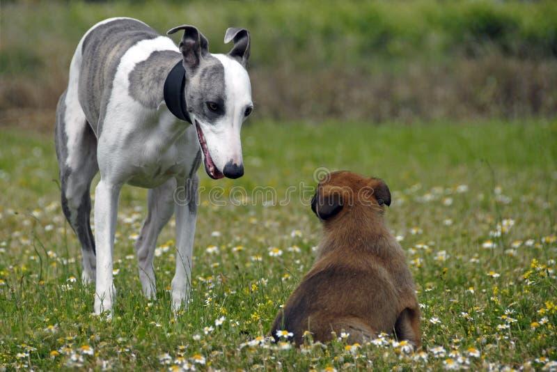 Malinois de Whippet e de filhote de cachorro fotos de stock royalty free