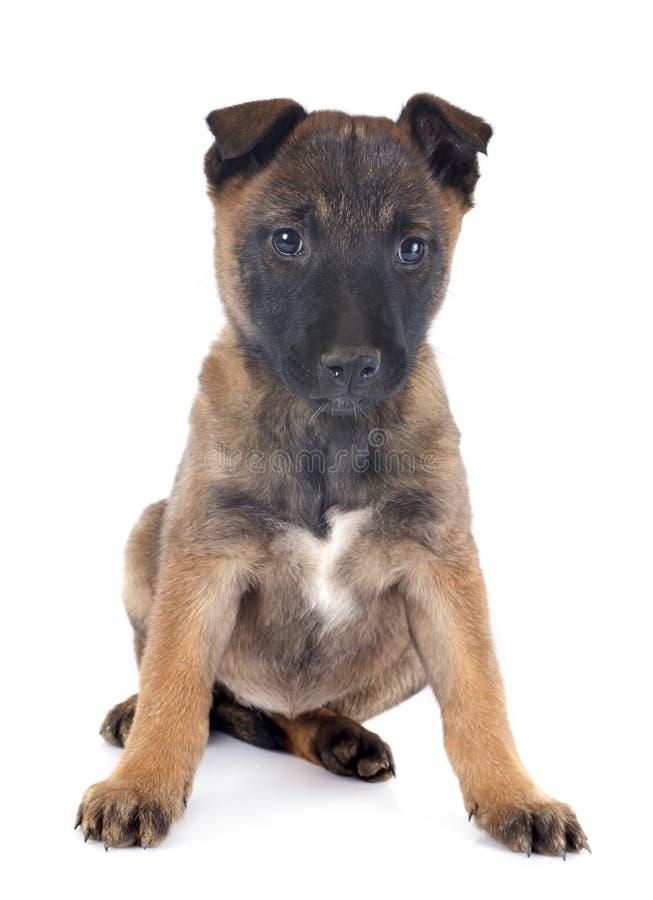 Malinois do cachorrinho fotografia de stock
