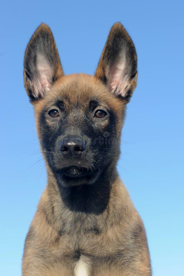 Malinois do filhote de cachorro fotografia de stock