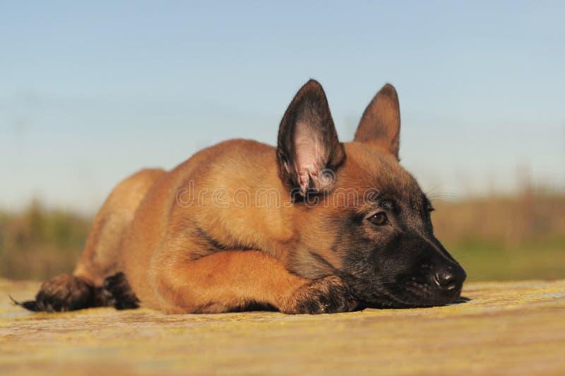 Malinois do filhote de cachorro imagem de stock royalty free