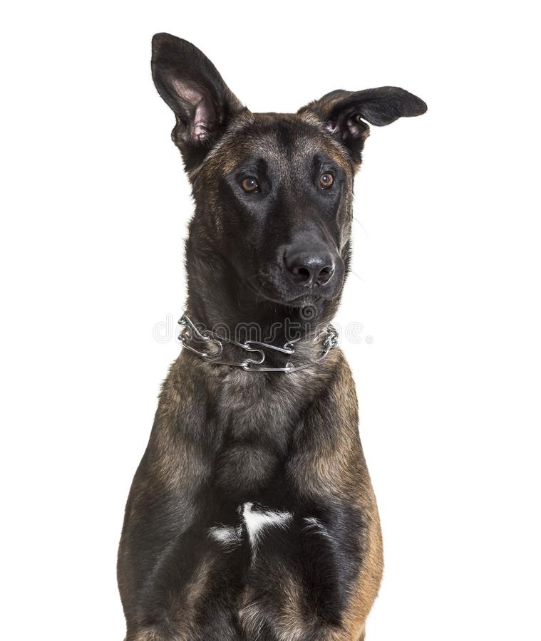 Malinois dog, 7 months old, sitting against white background. Isolated on white stock image