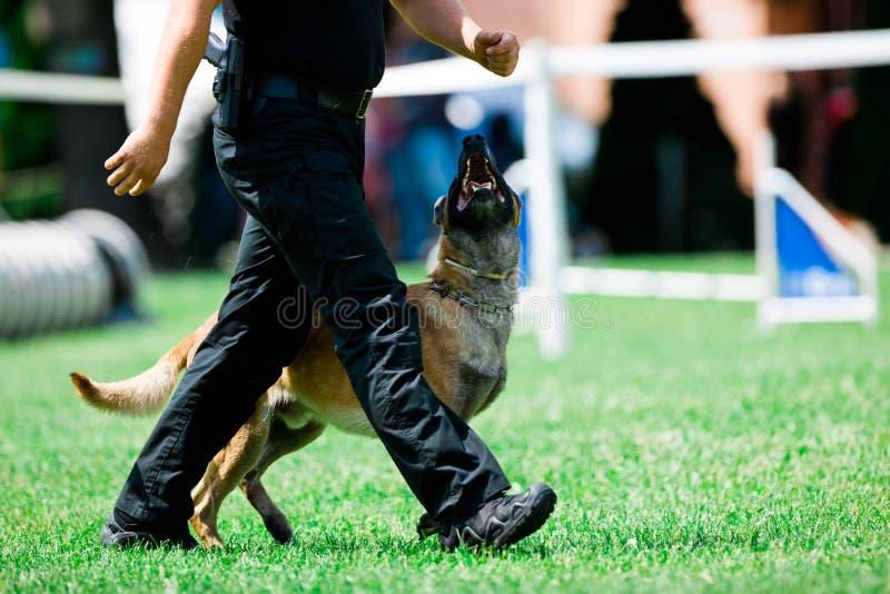 Malinois för polishund går bredvid polisman arkivfoton