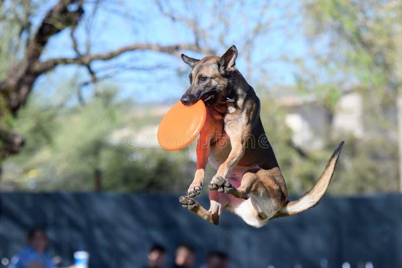 Malinois-Hund in der mittleren Luft mit einer Diskette lizenzfreies stockbild