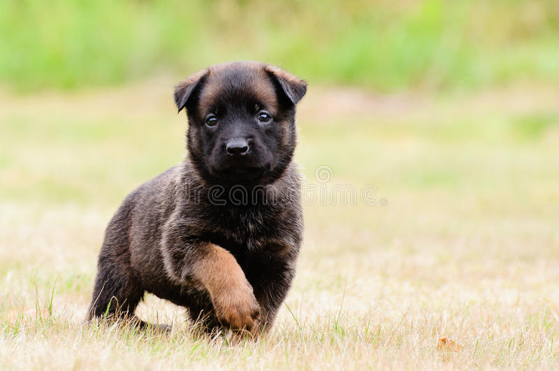 Malinois Puppy royalty free stock photos