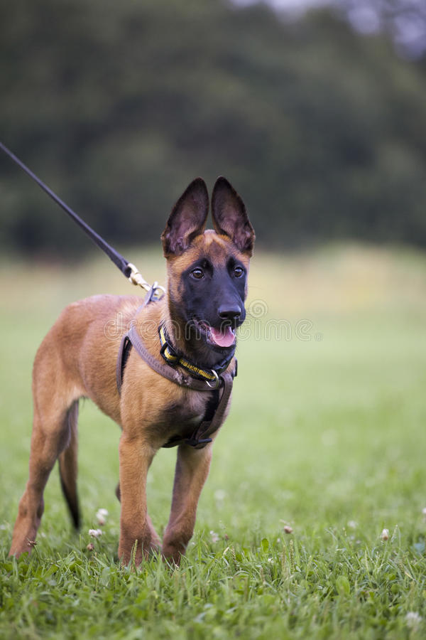 Malinois`s pyppy royalty free stock image