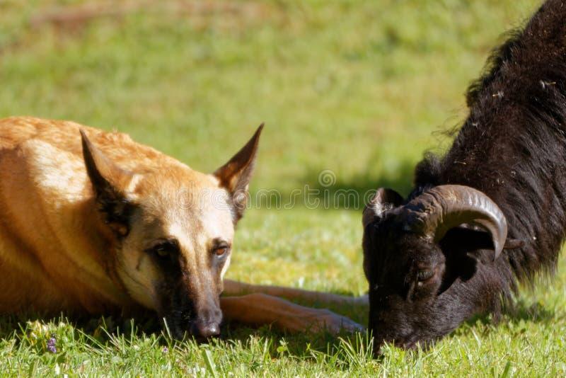 Malinois und ein Schaf von Cameroon lizenzfreie stockfotografie