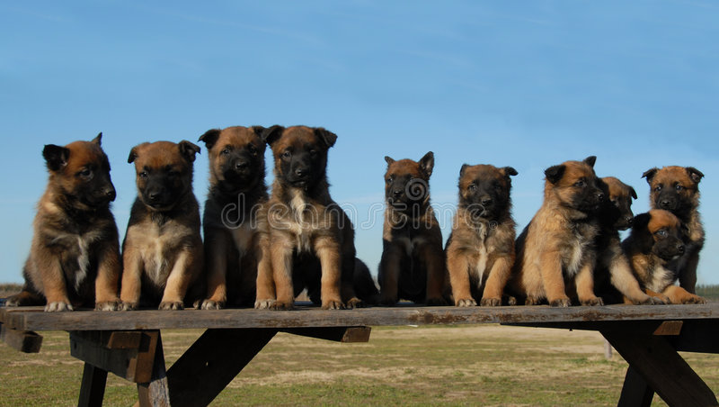Malinois van puppy stock fotografie