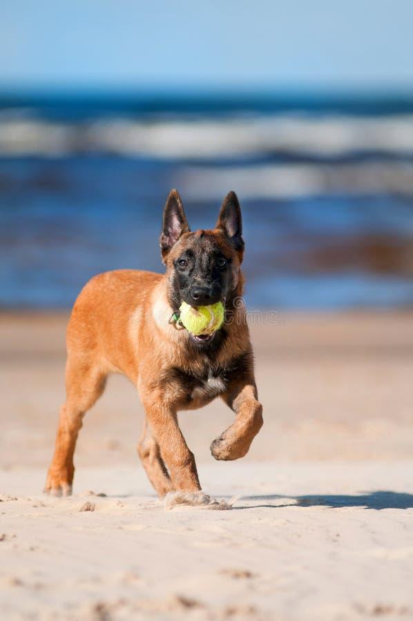 Malinois-Welpe, der auf dem Strand spielt lizenzfreie stockbilder