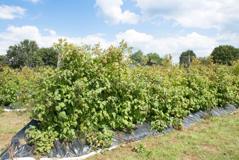 Malinowe rośliny zdjęcie royalty free