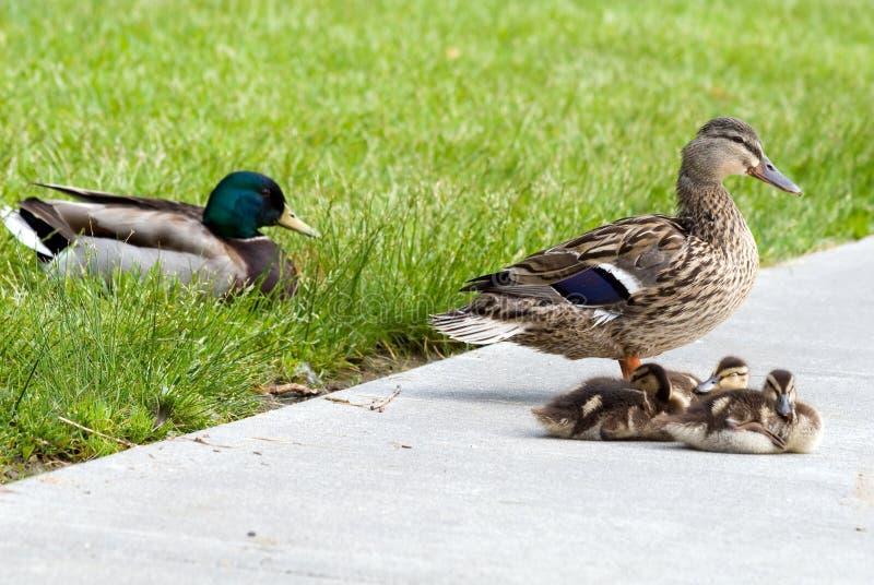 mallard семьи утки стоковая фотография