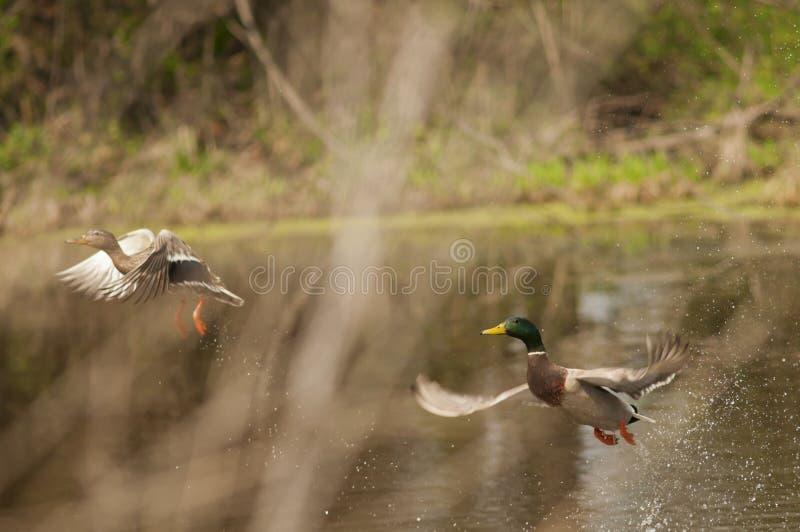 mallard утки стоковые фотографии rf