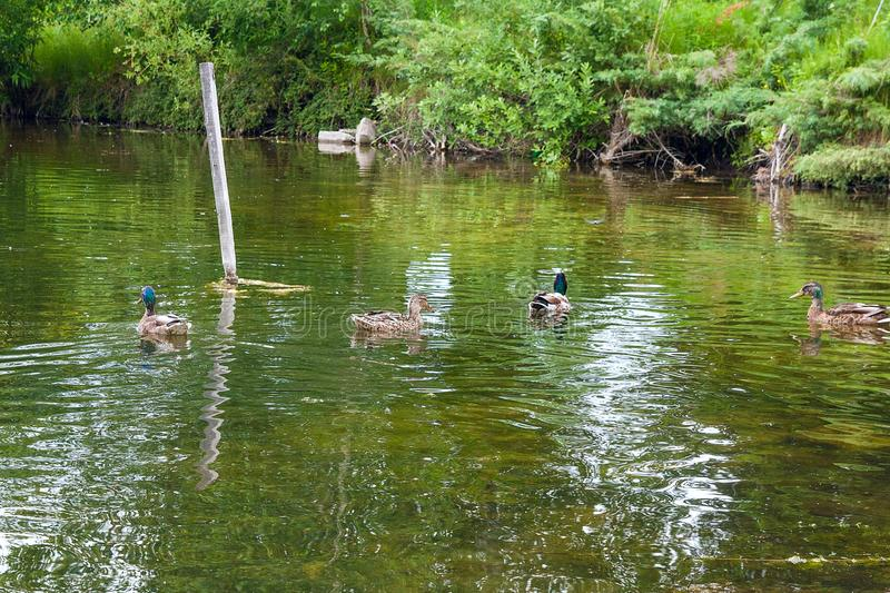 Group of mallard ducks floating on a pond at summer time. Mallard - a bird from the family of ducks detachment of waterfowl. The most famous and common wild royalty free stock photo