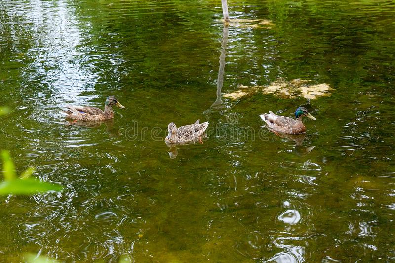 Group of mallard ducks floating on a pond at summer time. Mallard - a bird from the family of ducks detachment of waterfowl. The most famous and common wild stock images