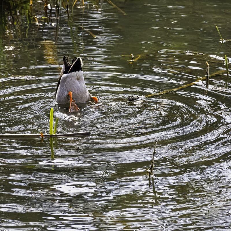 Mallard - canard sauvage jouant le cache-cache dans le lac octagon - Stowe, Buckinghamshire, R-U photo libre de droits