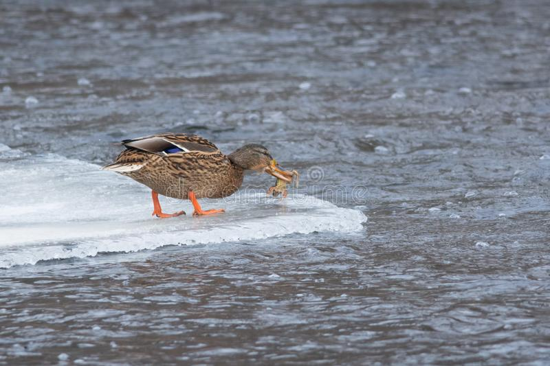 Mallard caught a frog. Female Mallard has caught a frog from an icy river in winter, Estonia royalty free stock images