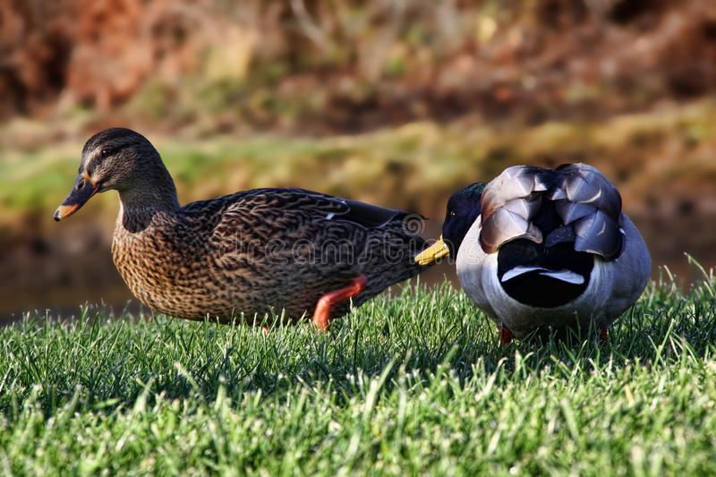 Mallard courting a female on a riverbank stock image