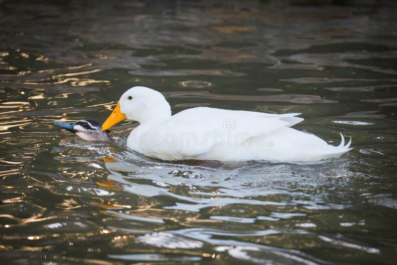 Mallard domestico dilagante Mates With Black Duck immagini stock libere da diritti
