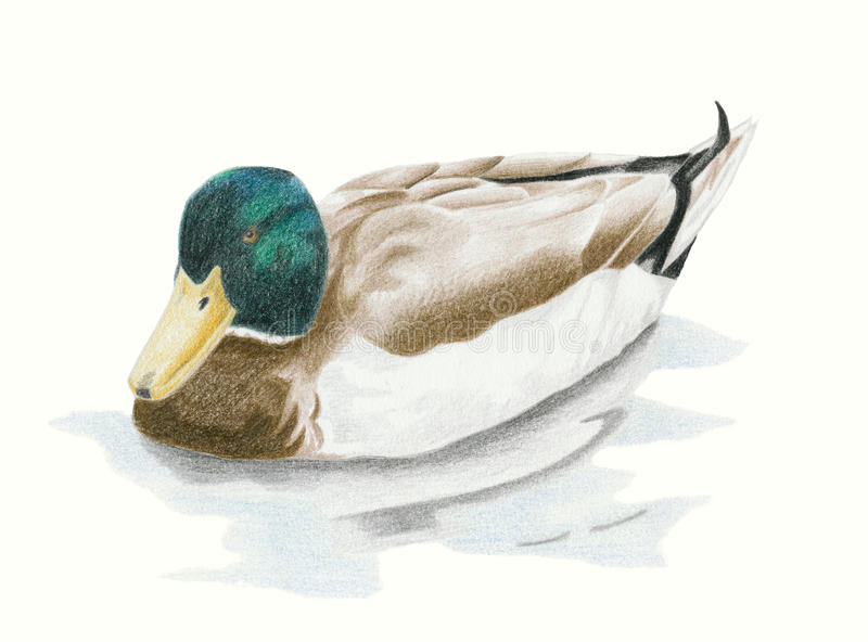 Mallard Drake Duck royalty free illustration