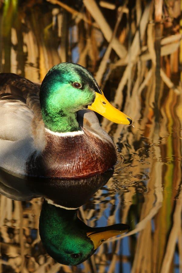 Mallard Drake Duck royalty free stock photos