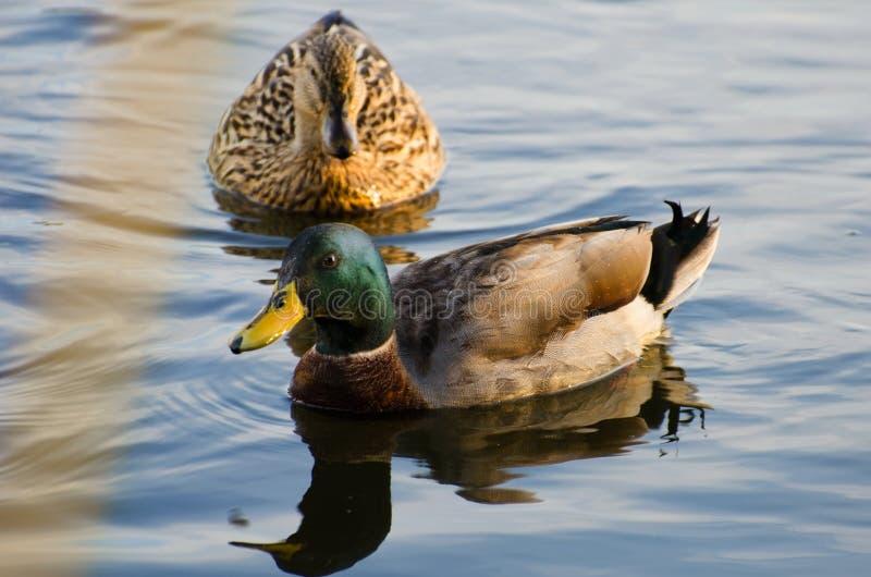Download Mallard Drake et poule photo stock. Image du gander, animal - 77153998