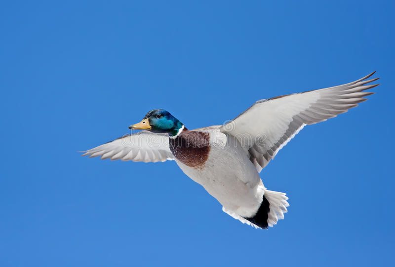 Mallard drake in flight. Against a blue winter sky stock image