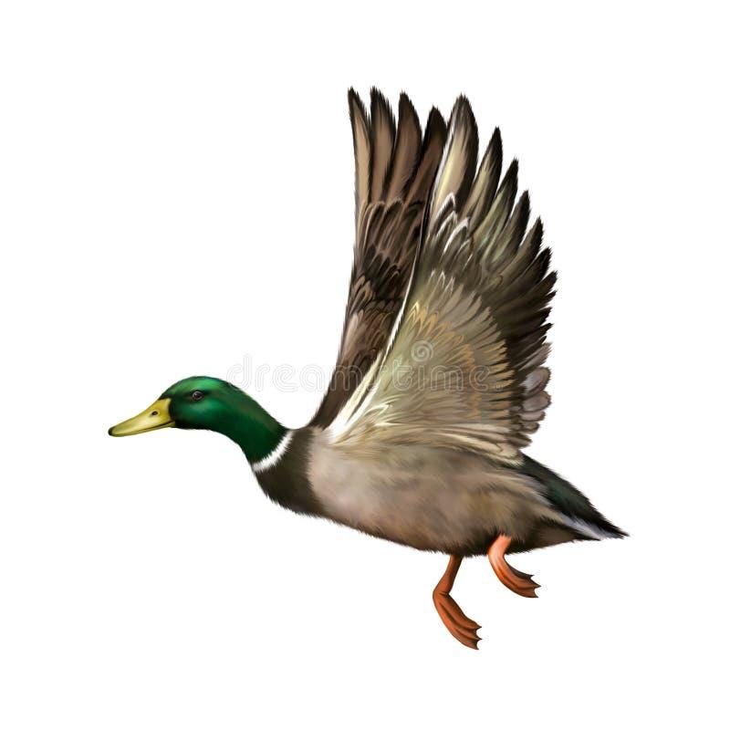 Mallard Drake In Flight, vector illustration