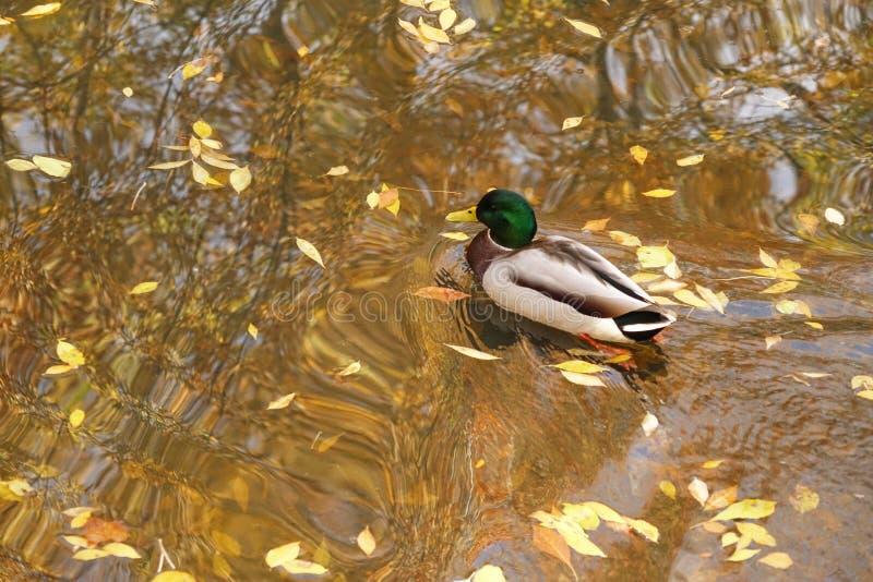 Mallard Drake Swims sur l'étang en automne photo libre de droits