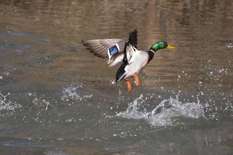 Download Mallard duck stock image. Image of male, beak, flapping - 17096319