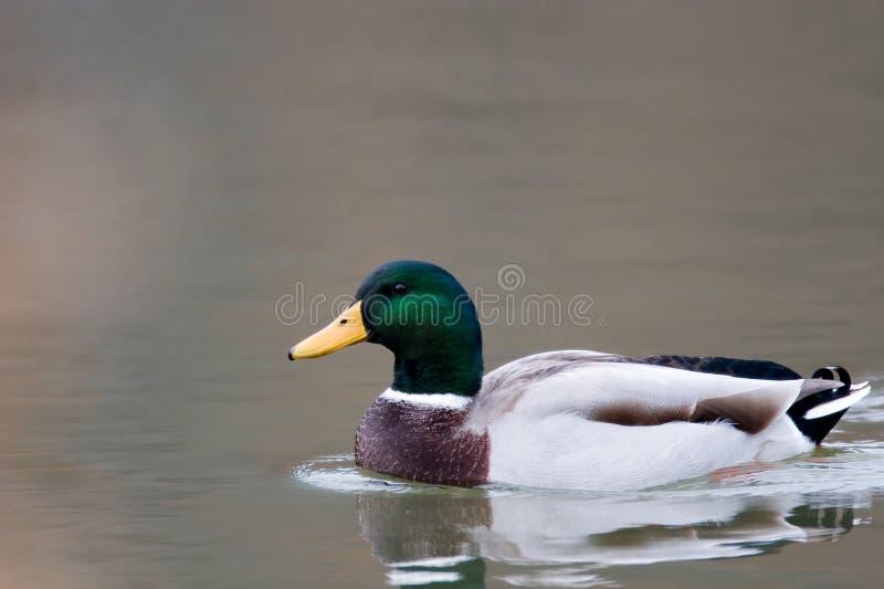 Download Mallard Duck Royalty Free Stock Photo - Image: 1723445