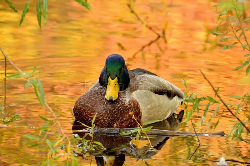 Download Mallard Duck Royalty Free Stock Photography - Image: 27452517