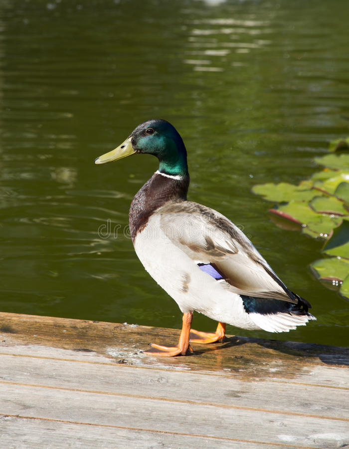 Mallard duck stock image
