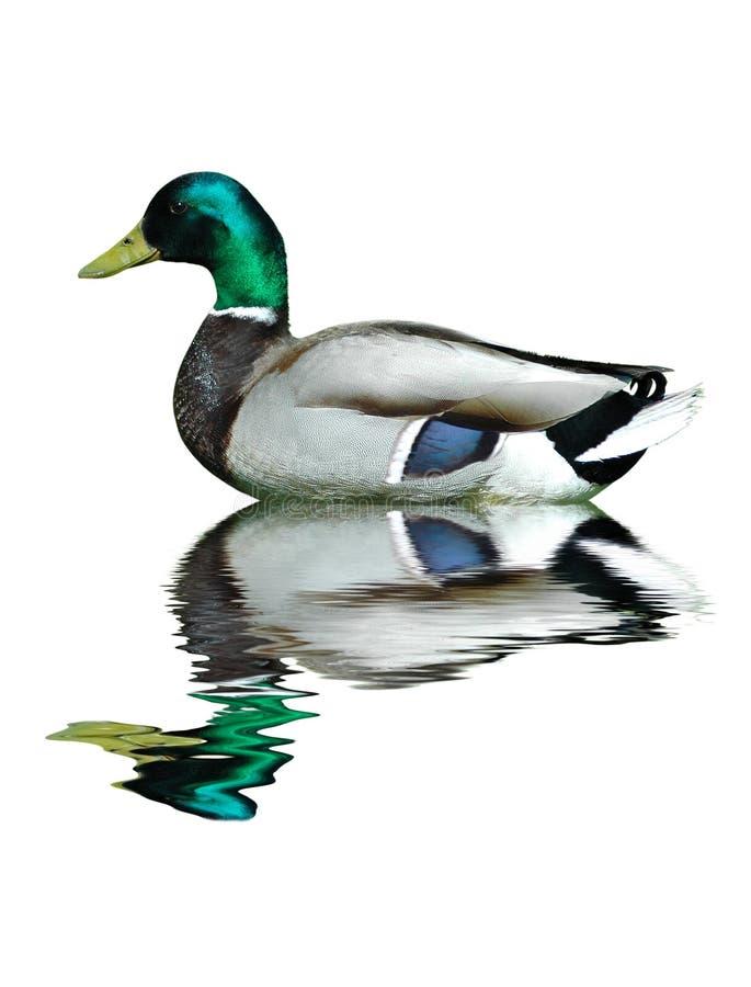 Free Mallard Duck Royalty Free Stock Photography - 3074557