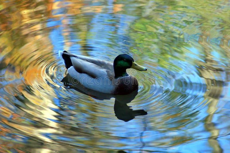 Mallard Duck. A male Mallard duck in a colorful autumn reflection royalty free stock image