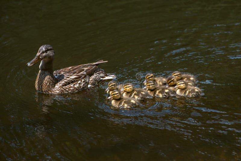 Mallard Duck Anas platyrhynchos fotografia de stock
