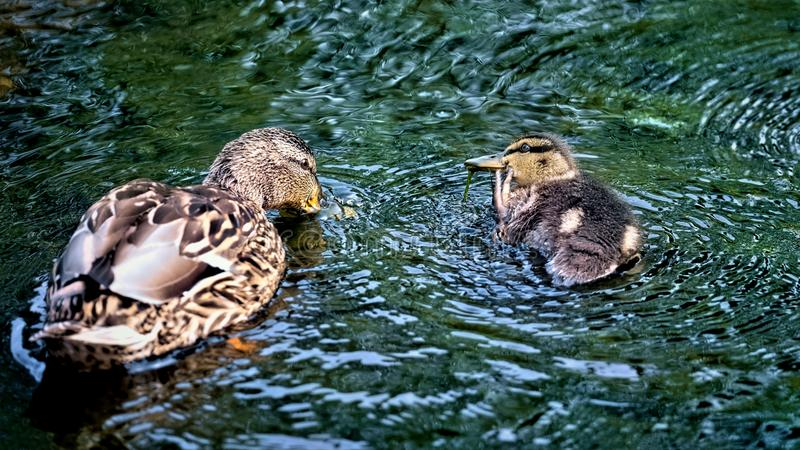 Mallard duck with chick paddling around on a river stock photo