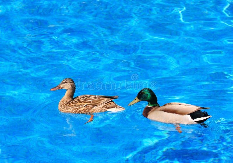 Download Mallard duck couple stock image. Image of quebec, ducks - 14781687